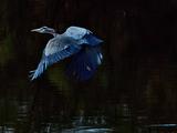 Great Blue Heron - Salton Sea, CA,