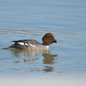 Female Common Goldeneye!