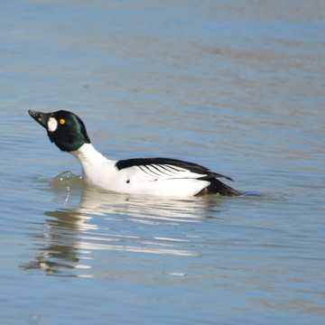 Male Common Goldeneye!