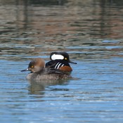 Pair of Hooded Merganser!
