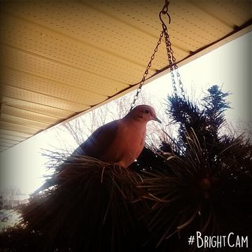 Mama Wood Dove is Back!