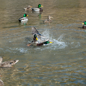 Ducks fight
