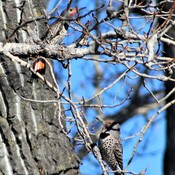 Pair of Red Shafted Northern Flickers.