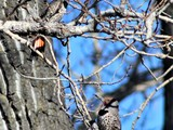 Pair of Red Shafted Northern Flickers. - Calgary, AB