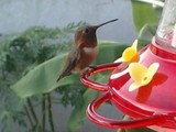 Hummer Beauties! - Palm Bay, FL,