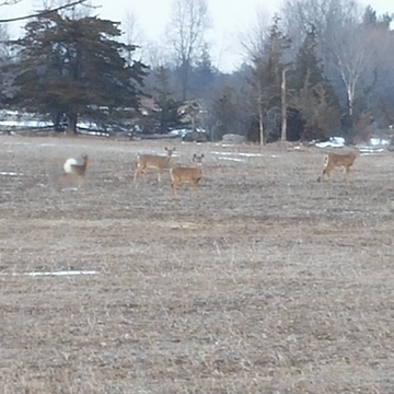 deer in my moms neighbors field