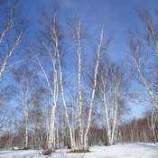 Beautiful Birch Tree View