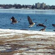 Geese in flight and Geese in Ice