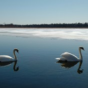 Swans on the water