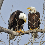 Bald Eagles Mating