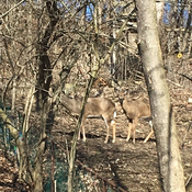 Spring is finally here, deer in my backyard:)