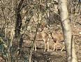 Spring is finally here, deer in my backyard:)