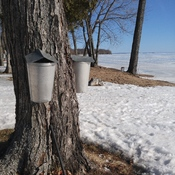 maple syrup season!!