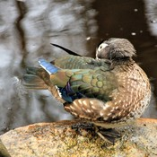 Wood duck preening