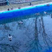 Ducks sitting poolside.