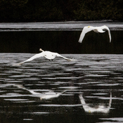 Trumpeter Swans Taking Off