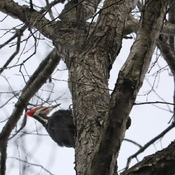 Spring Pileated Visit