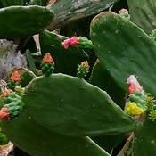 Flowering Color of buds on 🌵
