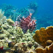 Lionfish at West Bay Roatan