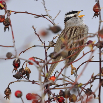 White Crowned Sparrow sings of Spring!
