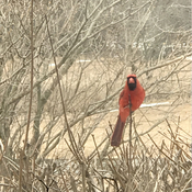 Our year round cardinal