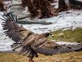 Junivile eagle  - St. John's, NL, CA