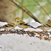 A Goldfinch gathering.