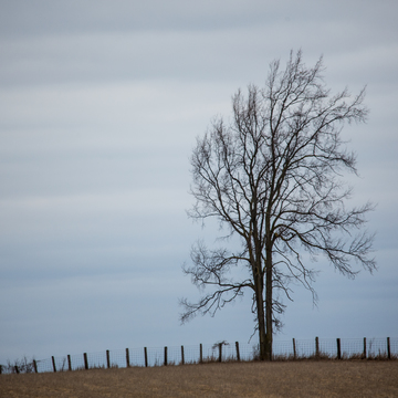 Lonely Tree On A Grey Evening
