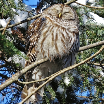 Barred Owl soaking up the sun!