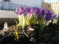 First Spring flowers . - St. Thomas, ON