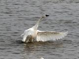 Tundra Swans - Aylmer Wildlife Management Area, Aylmer, ON