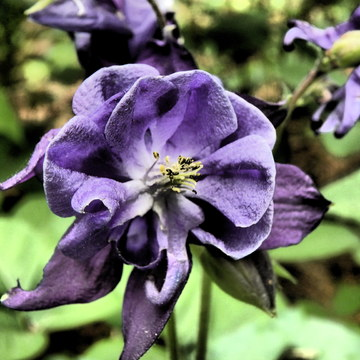 Wild Purple Columbine