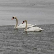 Swans on the Cataraqui