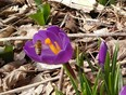 first blooms of spring - Brantford, ON