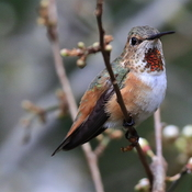 Mr and Mrs. Rufous .. Happy to have them back this week!