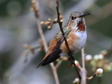 Mr and Mrs. Rufous  .. Happy to have them back this week! - North Saanich, BC