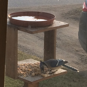 Blue Jay having breakfast