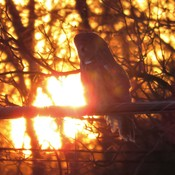Great Gray Owl Sunset