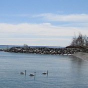Swans on Lake Ontario