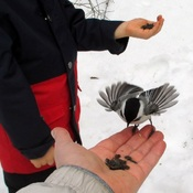 Feeding chickadees at Wye Marsh...