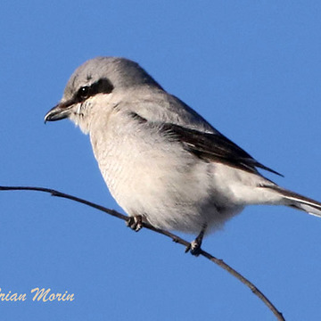 Shrike waits patiently for its next meal