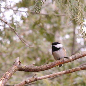 Red Squirrels and Chickadees