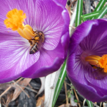 Bees and Crocus