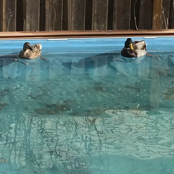 Mr. Mallard and his lovely wife are back for another season enjoying their swim