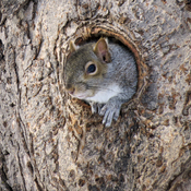 Squirrel emerging from tree hole