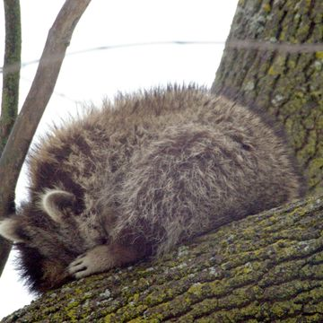 Raccoon, Caught Napping at midday.