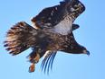 Juvenile Bald Eagle  - Whitbourne, NL, CA