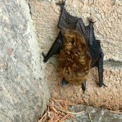 first bat sighting of the year...