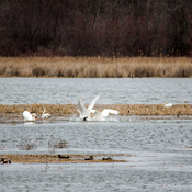 Swans Battle For Territory