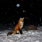 My Friend Fox..
